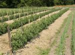Item No 181  Tomato 1 1/4 in x 1 1/4 in, 6 ft long Stakes (100 pack)