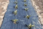 Item No 935, Compostable Plastic Mulch 4 foot x 4,000 foot